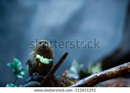 Pygmy Marmoset - Cebuella Pygmaea. The Smallest Monkeys in the World.