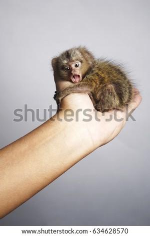 Pygmy Marmoset Curdle In Palm