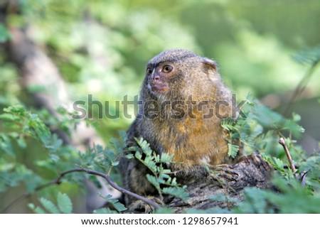 Pygmy Marmoset in Venezuela