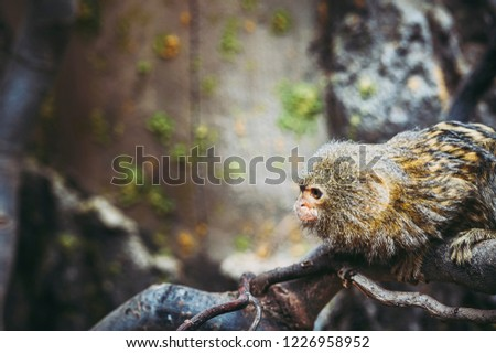 Pygmy marmoset monkey on wood