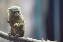 Pygmy Marmoset, the smallest monkey in the world