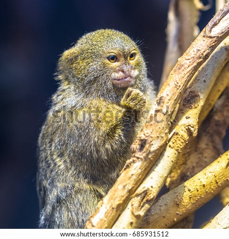 Pygmy marmoset waving a fist
