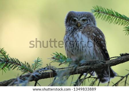 Pygmy owl (Little owl) Glaucidium