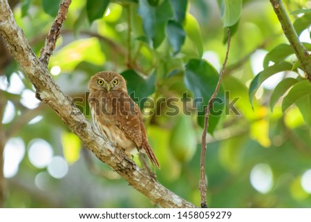 Pygmy Owl - Perched in a Tree