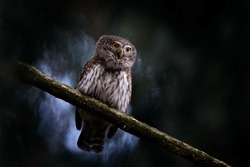 Pygmy Owl, sitting on tree spruce branch with clear dark forest background. Eurasian tinny bird in the habitat. Beautiful bird in evening sunset. Wildlife scene from wild nature.