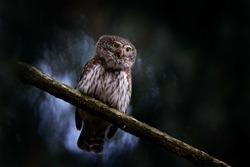Pygmy Owl, sitting on tree spruce branch with clear dark forest background. Eurasian tinny bird in the habitat. Beautiful bird in evening sunset. Wildlife scene from wild nature.