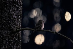 Pygmy Owl, sitting on tree spruce branch with dark forest background. Eurasian tinny bird in the habitat. Beautiful bird in evening sunset. Wildlife scene from wild nature, owl in Czech Rep.