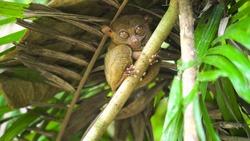 Pygmy tarsier primate wildlife nature