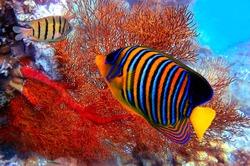 Pygoplites diacanthus Regal angelfish