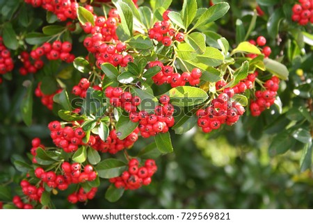Pyracantha bush with red berries . Firethorn in autumn