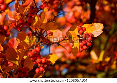 Pyracantha coccinea (Red Column) or firethorn plant with bright red berries or pomes in autumn or fall in Romania related to cotoneaster and from the rosaceae family. Iasi City botanical garden