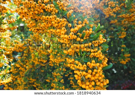 Pyracantha coccinea 'Soleil d`Or' decorative thorny shrub with many beautiful yellow fruits, golden colors of fall Photo stock ©