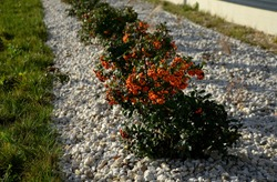 Pyracantha ( firethorn ) attractive orange berries and utumn rain. Pyracantha coccinea orange glow firethorn is excellent evergreen hedge, wall or fence in public park. rows of round shape