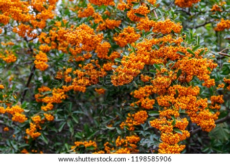 Pyracantha ( firethorn )   attractive orange berries and utumn rain.  Pyracantha firethorn as excellent evergreen hedge, wall or fence