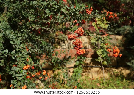 Pyracantha Firethorn (Pyracantha coccinea) orange berries with green leaves in the fall season.