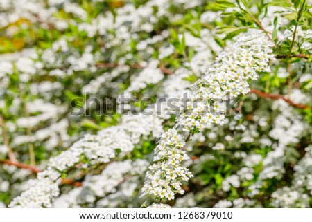 Pyracantha ( firethorn ) small flowers.  Pyracantha firethorn as excellent evergreen hedge, wall or fence