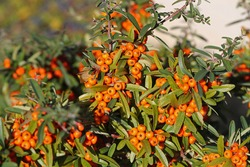 pyracantha or firethorn plant with bright red berries or pomes in autumn or fall in Italy related to cotoneaster and from the rosaceae family