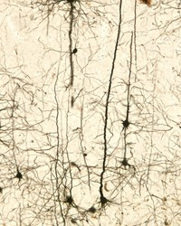 Pyramidal neurons of the cerebral cortex stained with the Golgi silver chromate. From the conic shaped soma, a large apical dendrite and multiple basal dendrites originate.