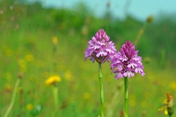 Pyramidal Orchid (Anacamptis pyramidalis) growing wild in a meadow in the Cotswolds, Gloucestershire, UK