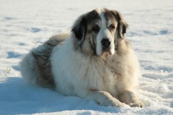 Pyrenean Mastiff laying down in the snow.