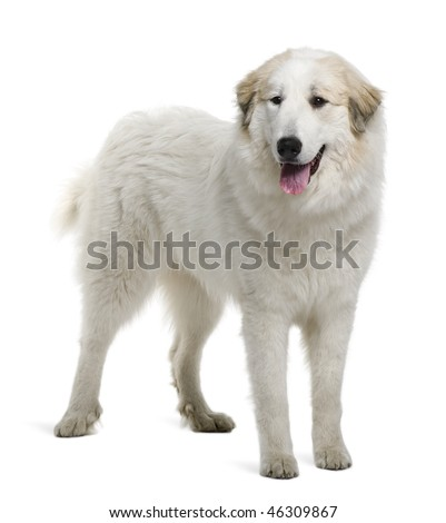 pyrenees mountain dog. Pyrenean Mountain Dog or