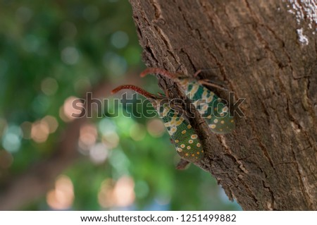 Pyrops candelaria or Lanternflies. It is a colorful insect found in the orchard. Picture is selective focus style.