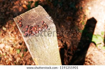 Pyrrhocoris apterus, firebug insects on a wood
