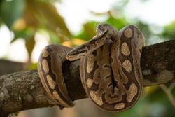 Python ball lying on a tree.