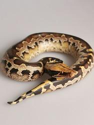 Python breitensteini also know as The Borneo python