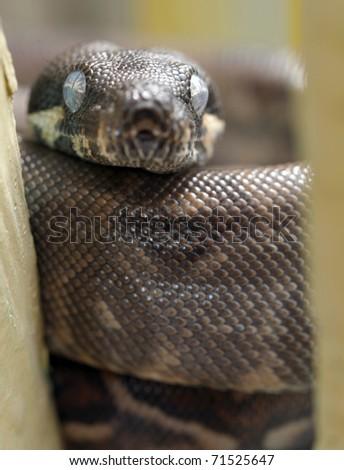 python, columbian red tail boa constrictor snake, honduras