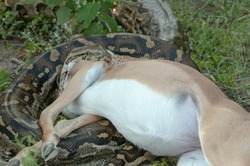 Python in South Africa eating Antelope