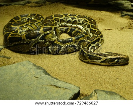 Python molurus is a large nonvenomous python species found in many tropic and subtropic areas of India and Southeast Asia. Also known as Indian python, black-tailed python. Pythonidae family.