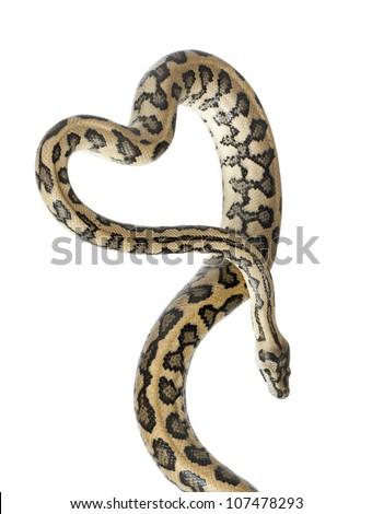 Python, Morelia spilota variegata,close up against white background