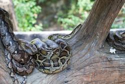 python on old tree in the zoo