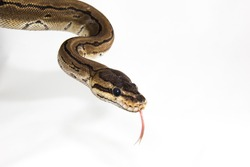 Python regius -A young ball python hanging from the corner of the image and sticking out it's tongue, with which the beautiful reptile smells its environment.A close up on white background with shadow
