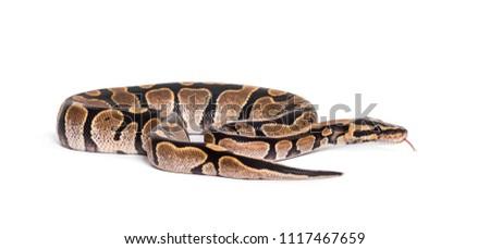 Python regius, against white background