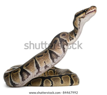 Python Royal python eating a mouse, ball python, Python regius, in front of white background