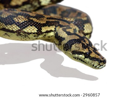 Python snake close-up isolated on white background
