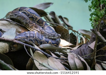 Python snake in nature, close up. Details of an Indian python or Python molurus