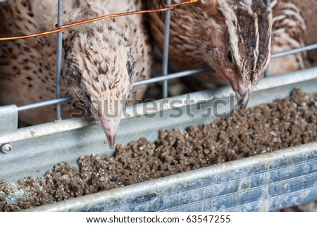 quails in cages at the poultry farm
