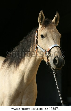 Quarter horse in front of black background