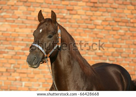Quarter horse in front of red background