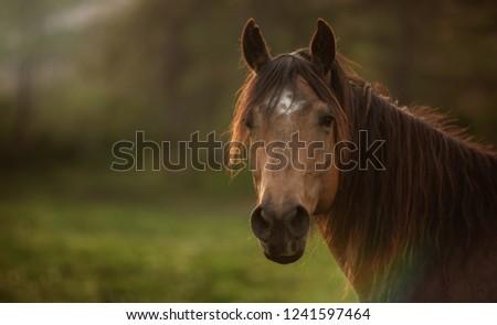 Quarter horse portrait