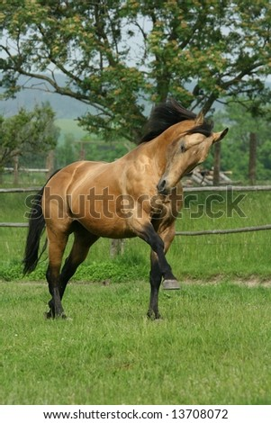 Quarter horse stallion playing