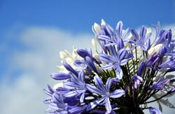 Quater of Lily of the Nile, also called African Blue Lily flower, in purple blue shade (Agapanthus Africanus) in Australia. Blue Agapanthus flowering plant in summer garden.