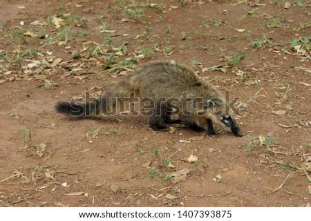 Quati in the Mangabeiras Park - Belo Horizonte - Minas Gerais - Brazil Of the carnivorous order and genus Nasua. He is a relative of the raccoon.
