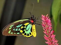 Queen Alexandra's birdwing butterfly up close to it's colorful body and wings. Ornithoptera alexandrae.