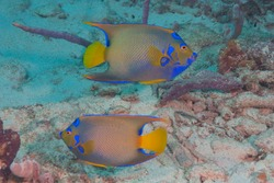 Queen angelfish, blue angelfish, golden angelfish, queen angel, and yellow angelfish (Holacanthus ciliaris) Bonaire, Leeward Islands