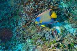 Queen angelfish, blue angelfish, golden angelfish, queen angel, and yellow angelfish (Holacanthus ciliaris) Cozumel, Mexico
