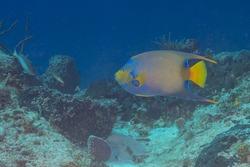 Queen angelfish, blue angelfish, golden angelfish, queen angel, and yellow angelfish (Holacanthus ciliaris) Cozumel, Mexico